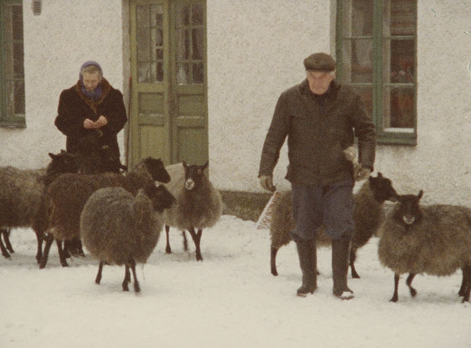 Faro 1979 sheep